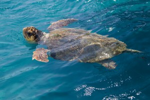 Turkey has one of the Loggerhead Turtle's best known breeding grounds