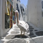 Mykonos: A pelican, the Island's mascot does a bit of window shopping
