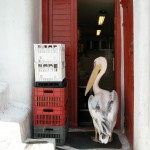 Mykonos: A pelican hunts for some lunch